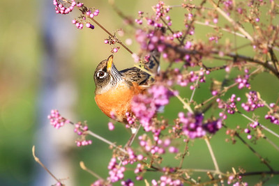 Robin on a Beauty Berry Bush