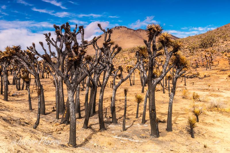 Burned Joshua Trees