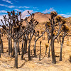 Burned Joshua Trees