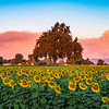 Field of Sunflowers with Oaktree