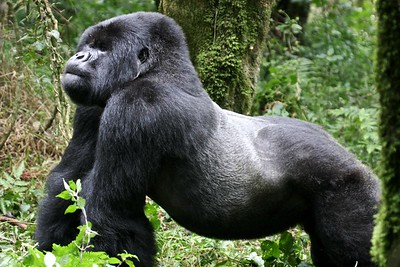 A silverback gorilla in Volcanoes National Park, Rwanda