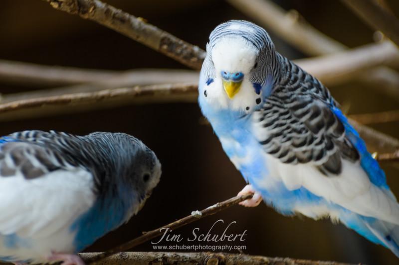 Parakeet Playtime