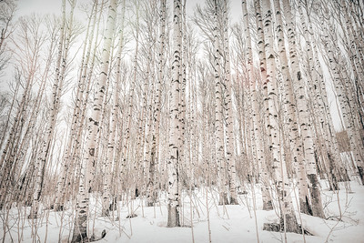 Winter Aspens - Digital Painting 4