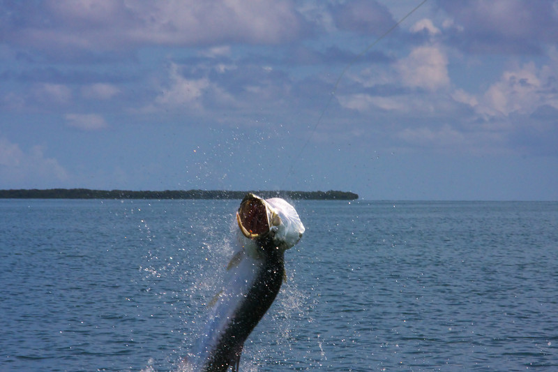 Hooked Tarpon is on and jumping with the fly visible in the upper lip.