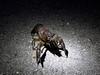 Crayfish on walk-about.