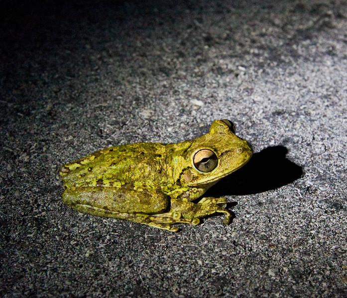 Cuban Tree Frog.