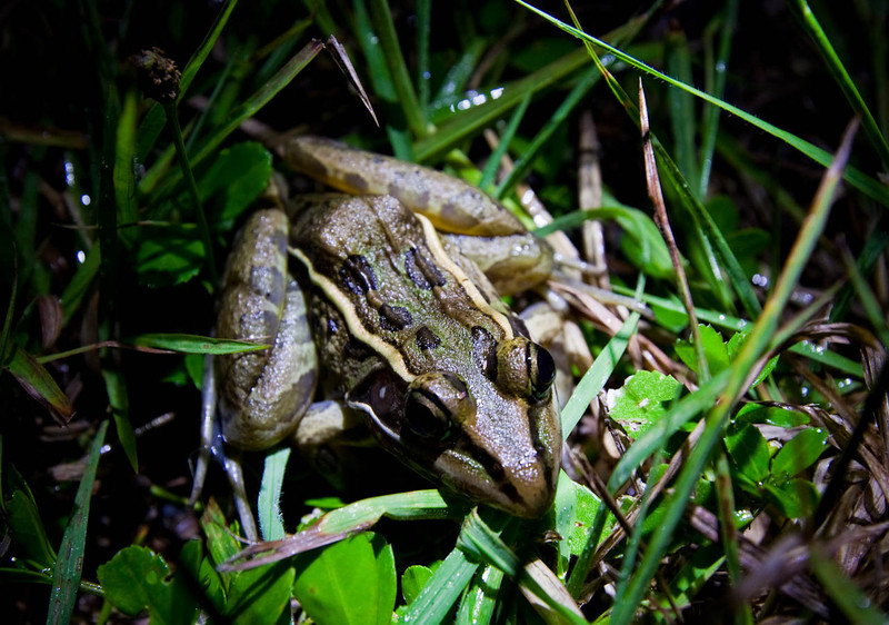 Southern Leopard Frog.
