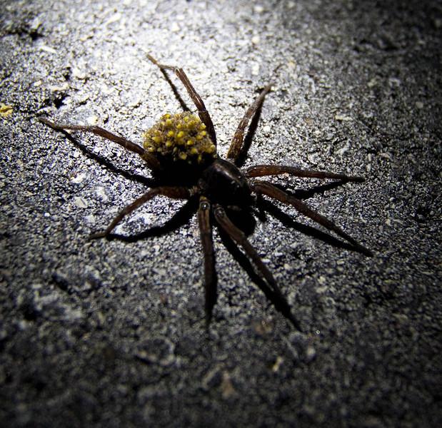 Mystery Spider.