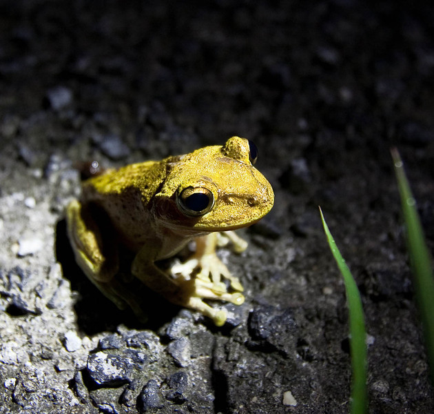 Another Cuban Tree Frog.
