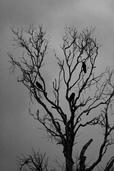 Crows in a snag.