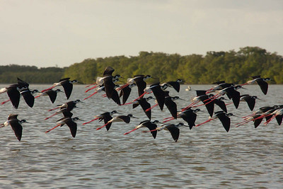 Blackneck Stilts