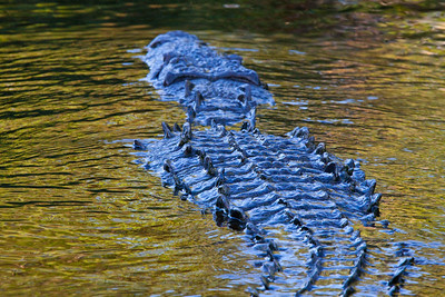 North American Crocodile in the Everglades