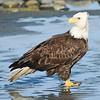 Eagle - Ninilchik