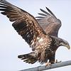 Eagle - Refuse Dump, Soldotna
