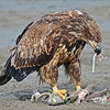 Eagle feeding - Anchor Point