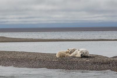 Polar Bear mother and cub lying