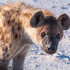 Spotted Hyena within arms reach