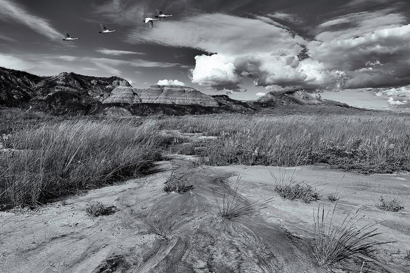 Trumpeter Swans Klsekun Hills, Alberta