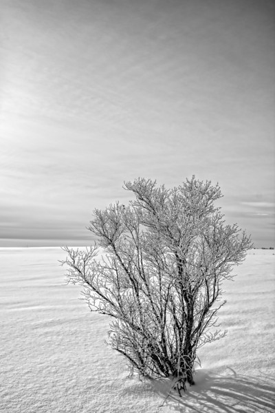 Single Bush with Hoar Frost