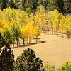 The Golden Aspens of Colorado