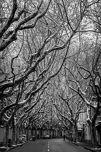Snowy trees over quiet street