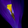 Glowing Crocus