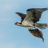 Osprey with Fish ( 2nd )