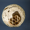 Wasp Nest - Focus Stacked