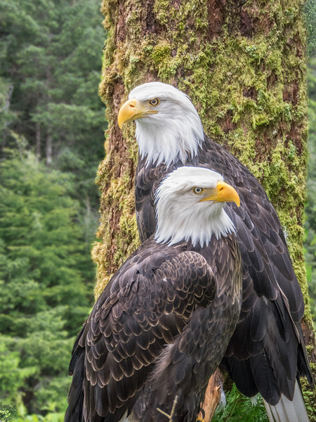 Bald Eagles at Sitka Raptor ( Rescue ) Facility