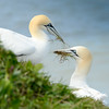 Gannets Collecting Nesting Material