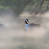 Canada Goose in the Mist