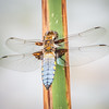 Broad Bodied Chaser resting on a Plant Stem