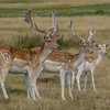 Roe Deer at Knole Park
