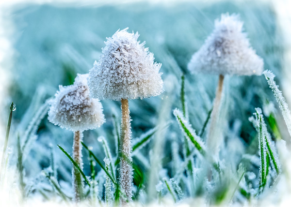 Frosted Fungi