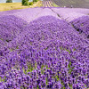 Lavender Fields, Hitchin
