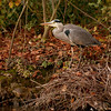 Grey Heron on its Nest