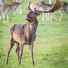Stag, Richmond Park