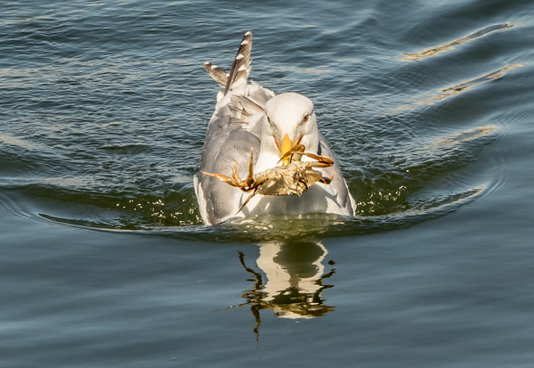 Gull with Crab; Victoria, British Columbia