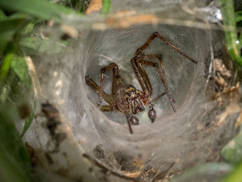 Mock Funnel Web Spider
