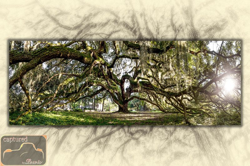 Majestic Oak Panoramic
