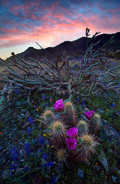 """Beauty in the beast""<br /> <br /> Hedgehog cactus bloom with some dancing lupines."
