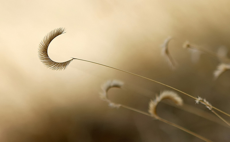 """Crescent grass""<br /> <br /> An intimate scene of a golden grass field."