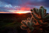 """Red star""<br /> <br /> Glowing red cholla enjoying the setting sun."