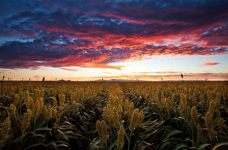 """Roasted""<br /> <br /> A firey sunset over a field of sorghum."