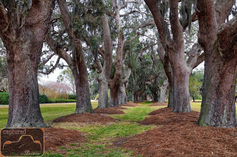 Sea Island Golf Club Avenue of Oaks