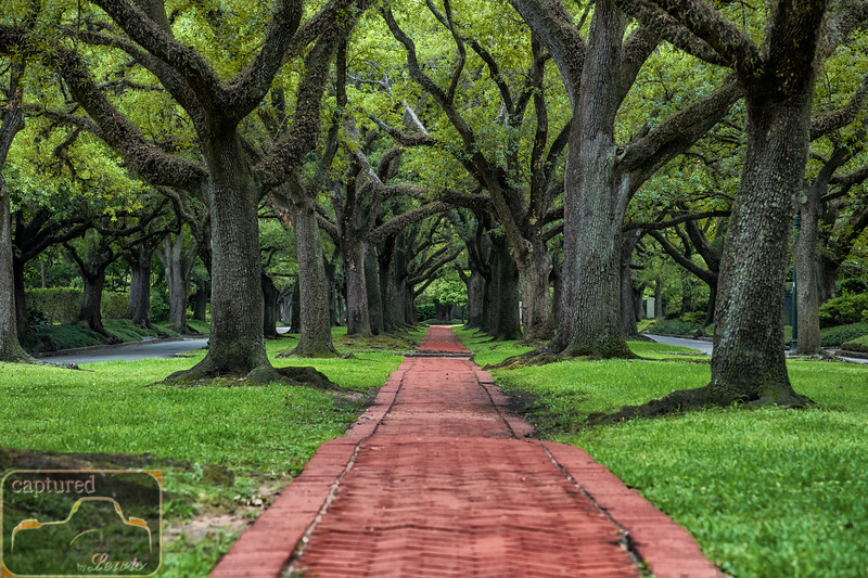 North Boulevard Live Oaks