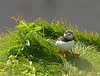 Puffin at Dyrholaey Nature Reserve