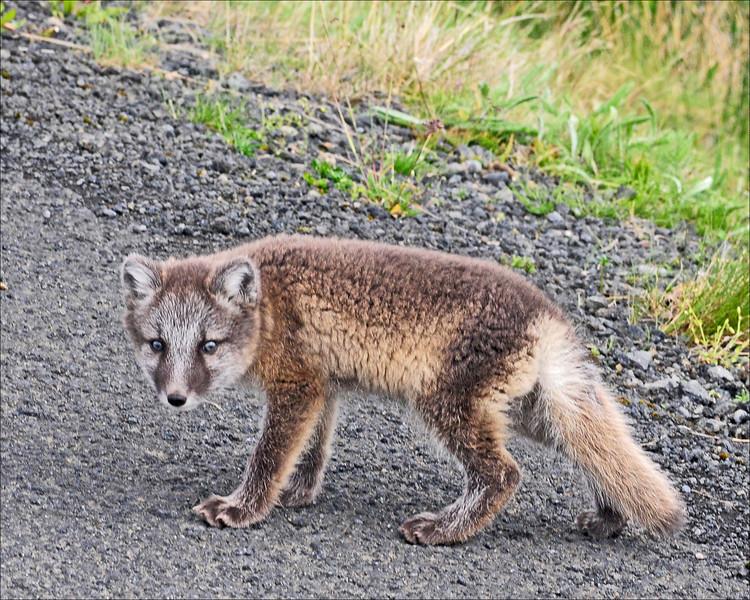 Fox (fur turns white in winter)