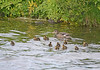 Eider Duck Female with Babies