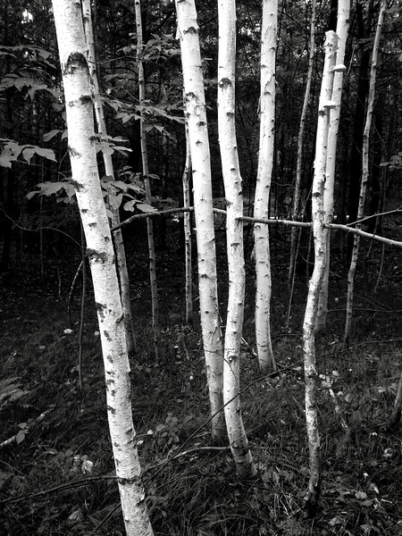 Birches - Craft's Hill, Lebanon NH